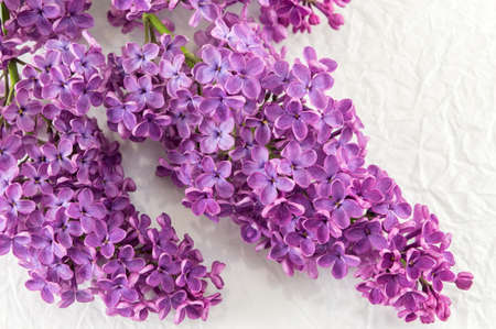 lilac flowers: Purple lilac flowers on white textile background Stock Photo