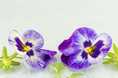 Fresh violet flowers on white fabric Stock Photo