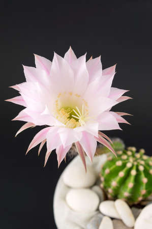 cactus flower: Cactus flower growing from a small cactus against black background Stock Photo