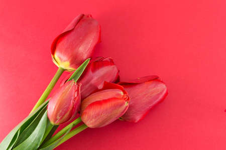 red tulip: Red tulip flowers on a red background