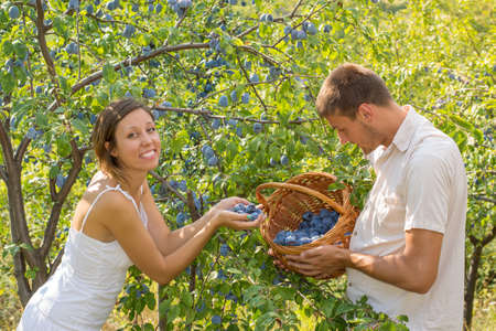 ciruela: Young couple picking plums in the field on a sunny day Foto de archivo