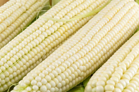 Freshly picked corn cobs in a row 스톡 콘텐츠