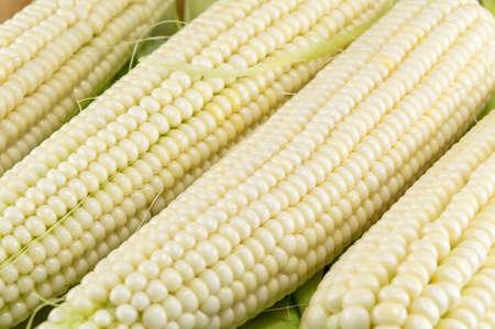 Freshly picked corn cobs in a row Foto de archivo