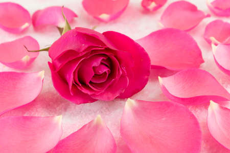 Pink rose on rose petals and bath salt grains Stock Photo
