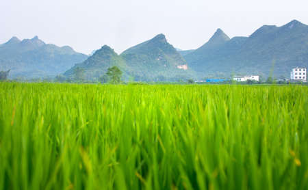 Rice field and karst scenery in Guangxi province, China