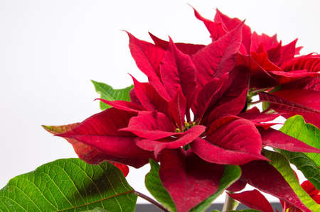 Christmas Star Poinsettia red tree on white background Фото со стока