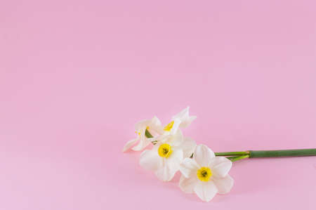 Narcissus flowers bouquet on pink background. Spring time