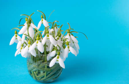 Fresh snowdrops in a vase on blue background Stock Photo