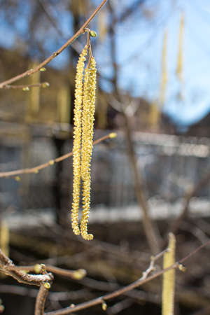 Hazelnut catkins hanging from the tree in the yard