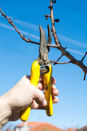 Male hand pruning fruit before the start of spring