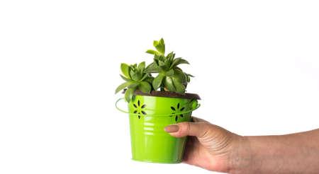Female hand holding a houseleek plant isolated