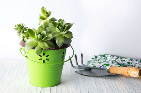 Gardening tools and houseleek plant in the pot on a table
