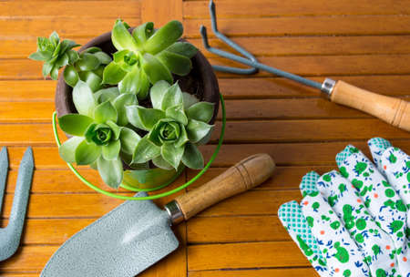 spading fork: Gardening tools and houseleek plant in the pot on a table