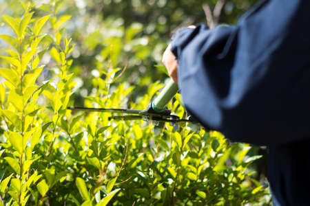 Gardener  trimming hedgerow with gardening scissors on a sunny day