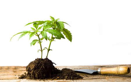 Marihuanaplant groeit van de grond met wortel