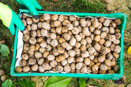 Worker holding box with fresh picked walnuts Imagens