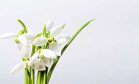 Snowdrop winter flowers bouquet on white background Stock Photo - 94895374