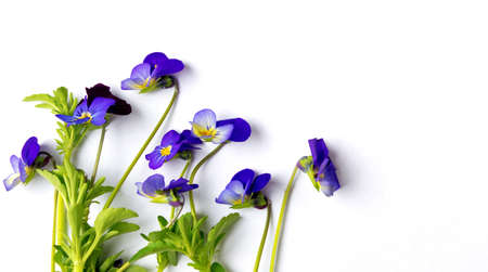 Wild viola flower on white background isolated
