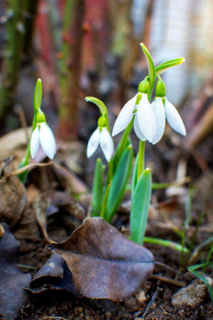 Snowdrops rising from the ground to announce spring Stock Photo