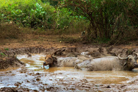 Buffalo cooling down in a mud pond Archivio Fotografico