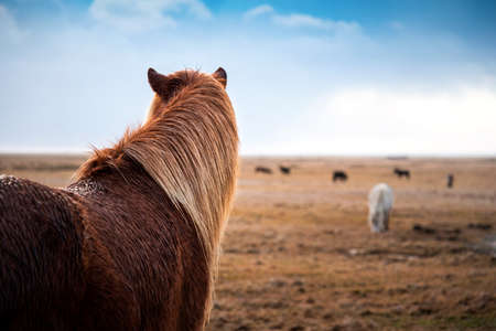Adorable Icelandic horses in the field on an Iceland road trip Standard-Bild