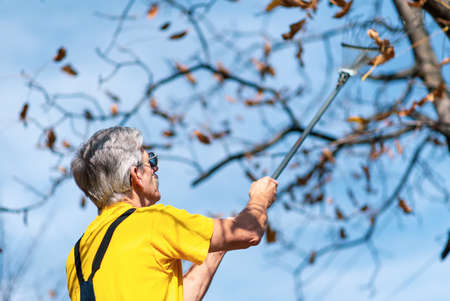 Man punching autumn leaves from the tree in the yard 版權商用圖片