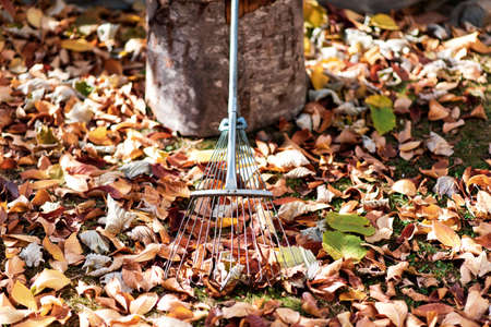 Pile of fallen autumn leaves and rake in the yard
