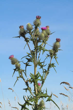 A wild thistle, the national emblem of Scotland.