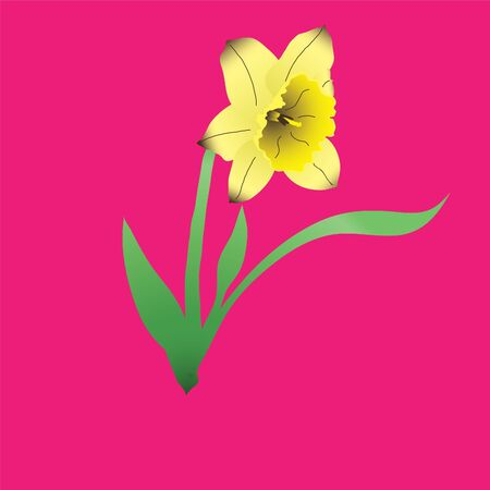 beautifull: yelow narcissus flower on pink background