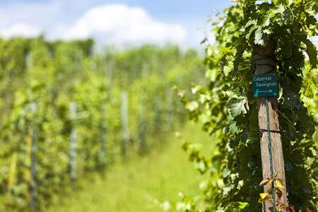 cabernet sauvignon: Vineyard of cabernet sauvignon grape