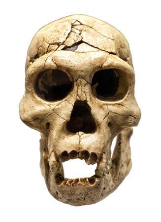 erectus: Fossil skull of Homo Erectus