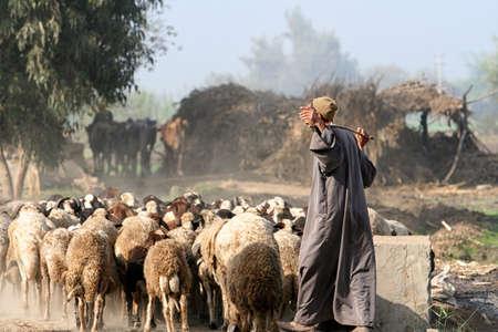 australian shepherd: Herder in egypt