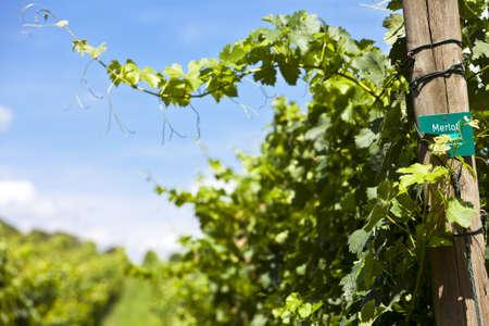 Vineyard of Merlot grape Stock Photo