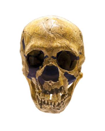 hominid: Cranio fossile di Homo neanderthalensis Archivio Fotografico