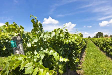 pinot: Vineyard of Pinot Blanc grape Stock Photo