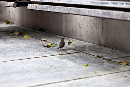 small town life: Lonely sparrow under urban park bench at available light
