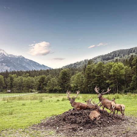 Magnificent herd of red deer with branched antlers grazes in grass at beautiful nature in the mountains Stock Photo - 119558974