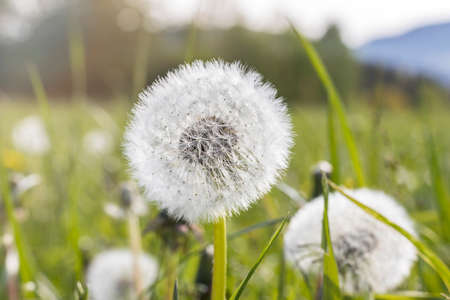 Dandelion on the meadow at sunny day
