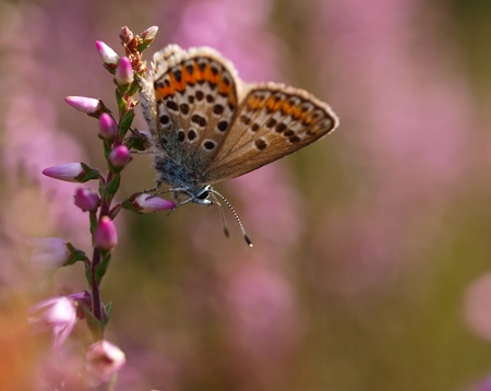 small butterfly (plebeius argus) is resting on heath Stock Photo - 9950815