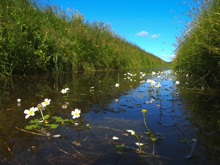 polder: Typical dutch polder ditch seen from just above the waterline with pond water-crowfoot in front Stock Photo