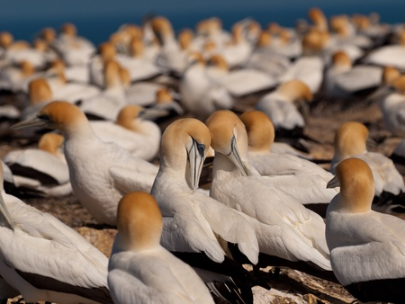 australasian: Socializing Gannets in a breeding colony