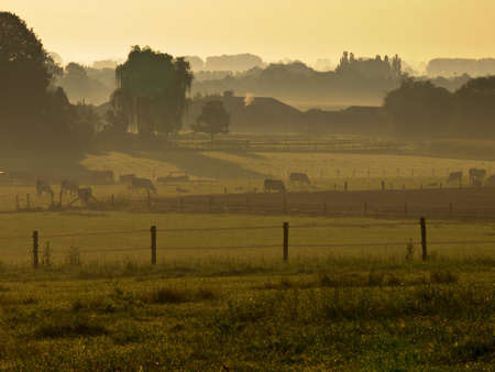 agricultural landscape with cows during misty sunrise Stock Photo - 10834507