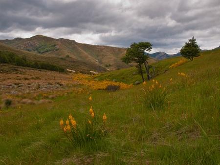 golden-flowered Bulbinella in New Zealand subalpine meadow photo