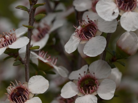 Detail of bunch of tea tree flowers Stock Photo