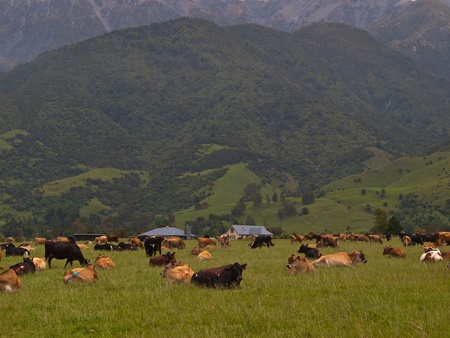 New zealand farmland impression with relaxing cows Stock Photo - 10834456