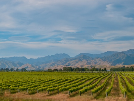 new zealand vineyard with misty blue hills backdrop Stock Photo - 10834503