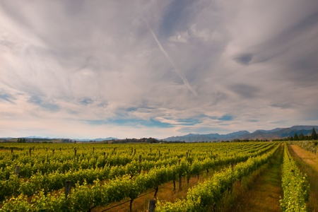 new zealand vineyard under dramatic cloudy sky Stock Photo