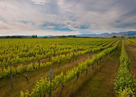 new zealand vineyard overview with hills backdrop photo