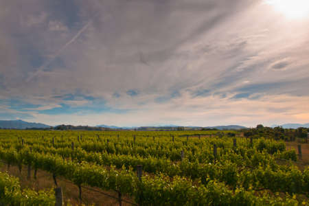 new zealand vineyard on a sunny afternoon Stock Photo - 10834534