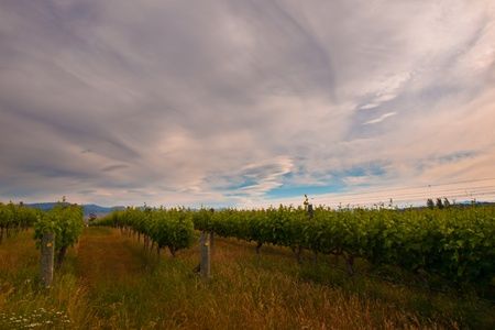 new zealand vineyard under dramatic sky photo